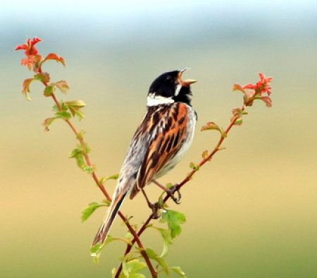 Reed Bunting 2017 06 029