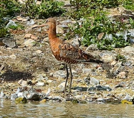 Black tailed Godwit 2017 08 007