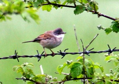 Whitethroat0002 002