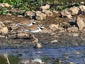 Little Ringed Plover 2017 04 010