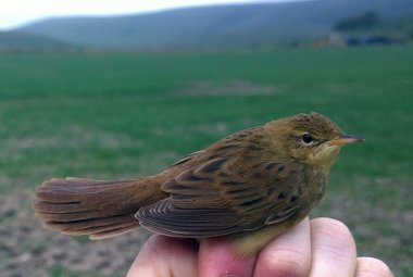 Gropper at B1