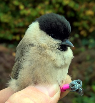 Wilti ringed as a nestling
