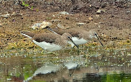 Green Sandpiper 2018 08 09 Langford Lakes18