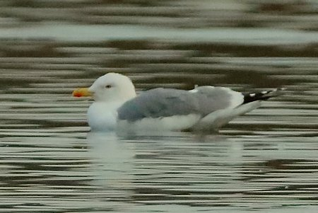 Yellow legged Gull 2017 12 02 Langford Lakes1