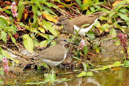 Common Sandpiper 2019 07 22 Langford Lakes1
