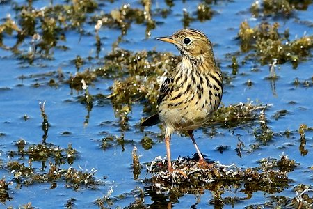 Meadow Pipit 2019 09 20 Langford Lakes
