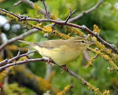 Willow Warbler 2019 07 21 Badens Clump