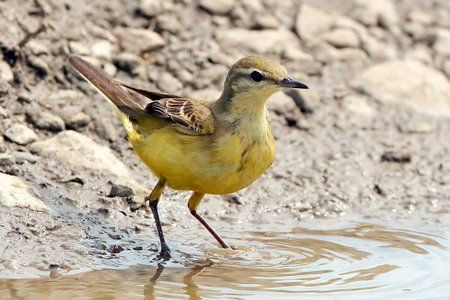 Yellow Wagtail 2019 06 20 Lydeway13