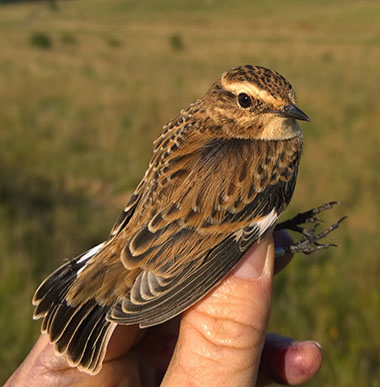whinchat1