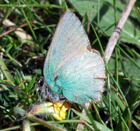 Green Hairstreak 2 Westdown June 2010