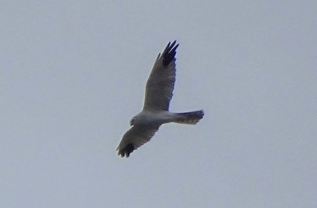 Hen Harrier West Chippenham 23 09 20