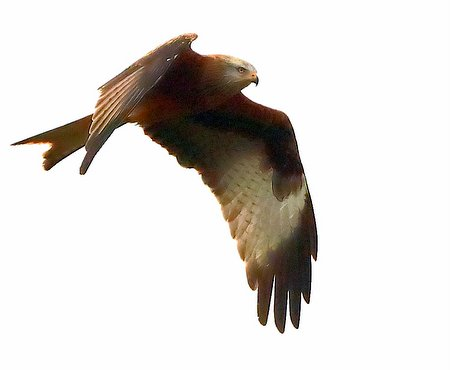 Red Kite 2021 01 02 Badens Clump0